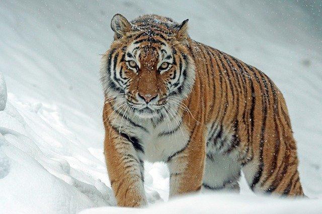 Taiga-Animals-Siberian-Tiger