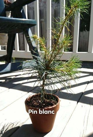 White-pine-sapling