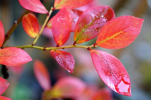 Wild-Tea-Base-Blueberry-Leaves