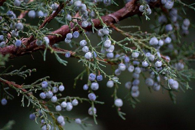 Wild-Tea-Ingredients-Juniper-Berry