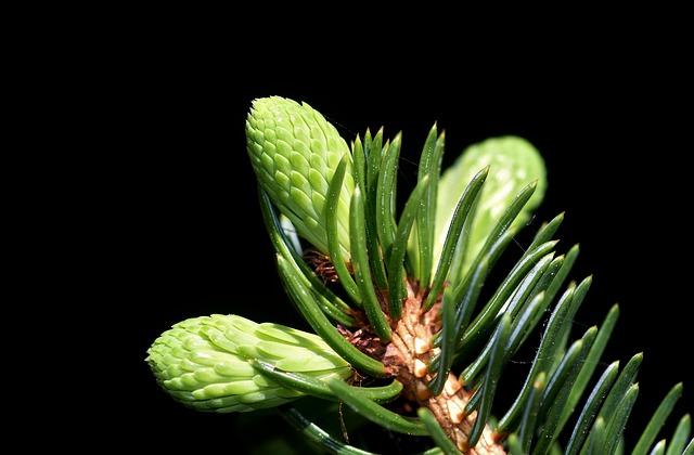 Wild-Tea-Ingredients-Spruce-Needles