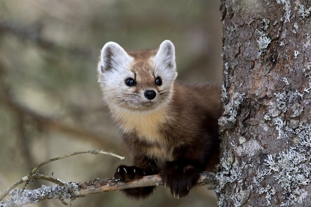 Boreal-Forest-Animals-Carnivores-American-Marten