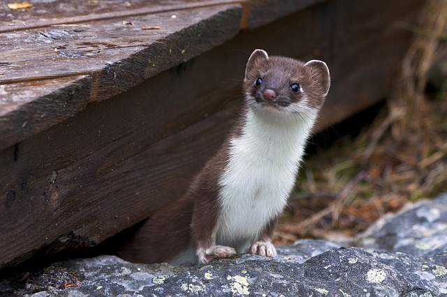 Boreal-Forest-Animals-Carnivores-Least-Weasel