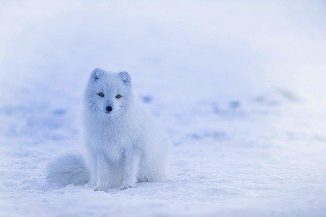 Boreal-Forest-Mammals-Carnivore-Arctic-Fox