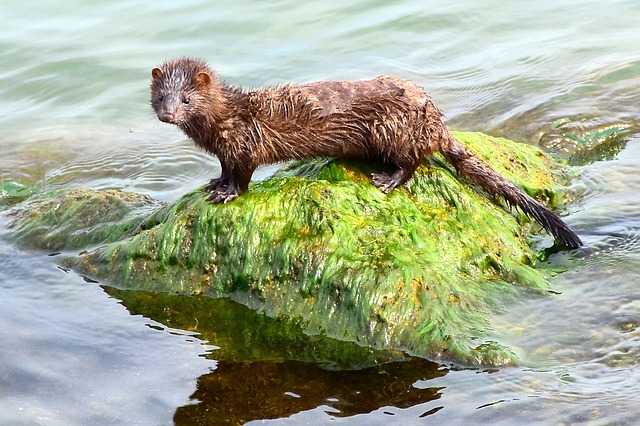 Boreal Forest Mammals - Carnivores - American Mink