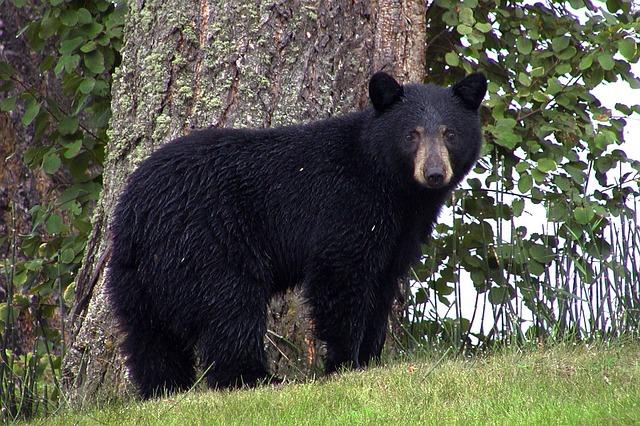 Boreal-Forest-Mammals-Carnivores-Black-Bear