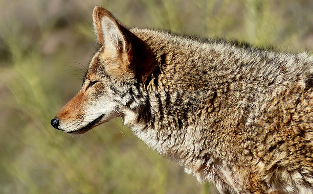 Boreal-Forest-Mammals-Carnivores-Coyote