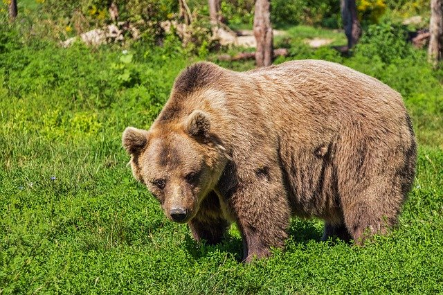 Boreal-Forest-Mammals-Carnivores-Grizzly-Bear