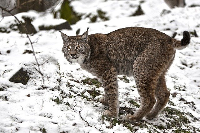 Boreal-Forest-Mammals-Carnivores-Lynx