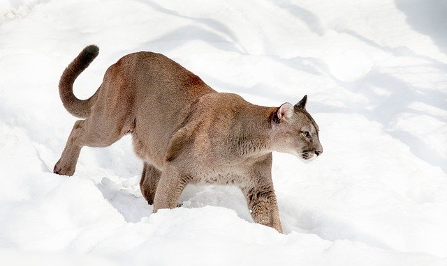 Boreal-Forest-Mammals-Carnivores-Mountain-Lion