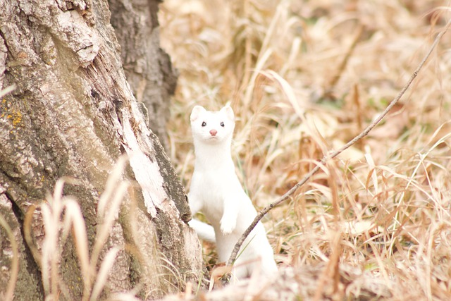 Boreal Forest Mammals - Carnivores - Stoat Ermine
