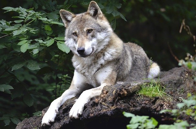 Boreal-Forest-Mammals-Carnivores-Wolf