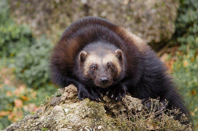 Boreal-Forest-Mammals-Carnivores-Wolverine