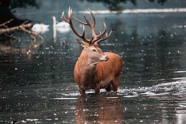 Boreal-Forest-Mammals-Cervidae-Red-Deer