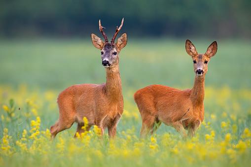 Boreal-Forest-Mammals-Cervidae-Roe-Deer