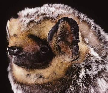Boreal-Forest-Mammals-Chiroptera-Hoary-Bat