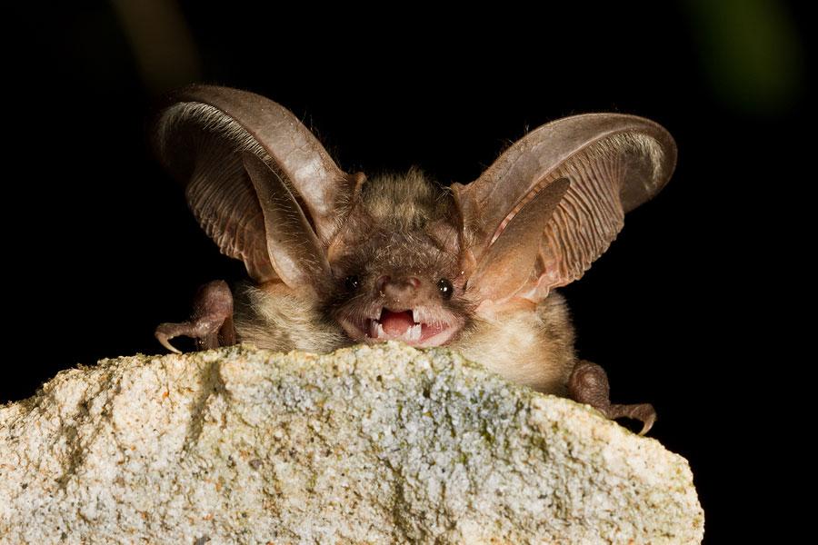 Boreal-Forest-Mammals-Chiroptera-Northern-Long-eared-Bat-1