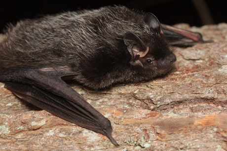 Boreal-Forest-Mammals-Chiroptera-Silver-Haired-Bat