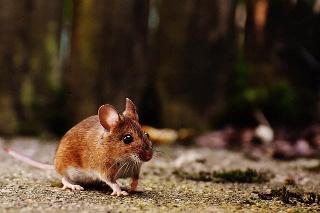 Boreal-Forest-Mammals-Cricetidae-Deer-Mouse