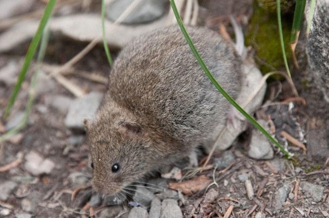 Boreal-Forest-Mammals-Cricetidae-Heather-Vole-dungava