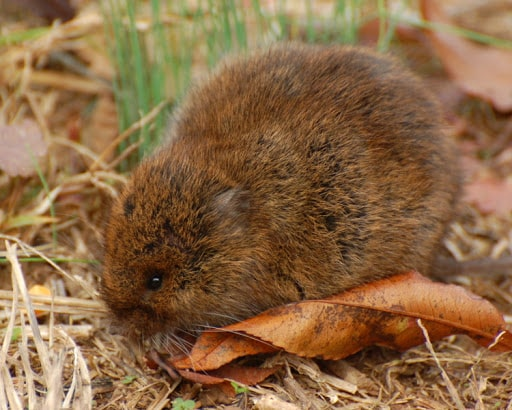 Boreal Forest Mammals - Cricetidae - Meadow Vole-min