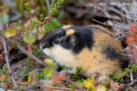 Boreal-Forest-Mammals-Cricetidae-Norway-Lemming