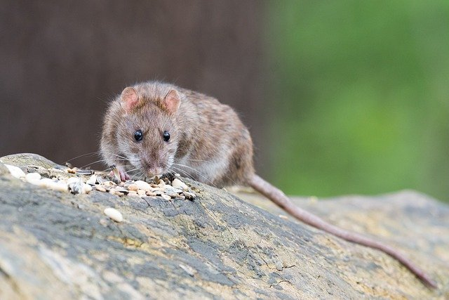 Boreal-Forest-Mammals-Cricetidae-Norway-Rat-1