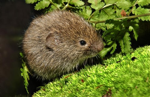 Boreal Forest Mammals - Cricetidae - Southern Bog Lemming