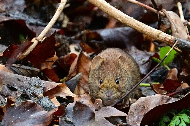 Boreal-Forest-Mammals-Cricetidae-Southern-Red-Back-Vole