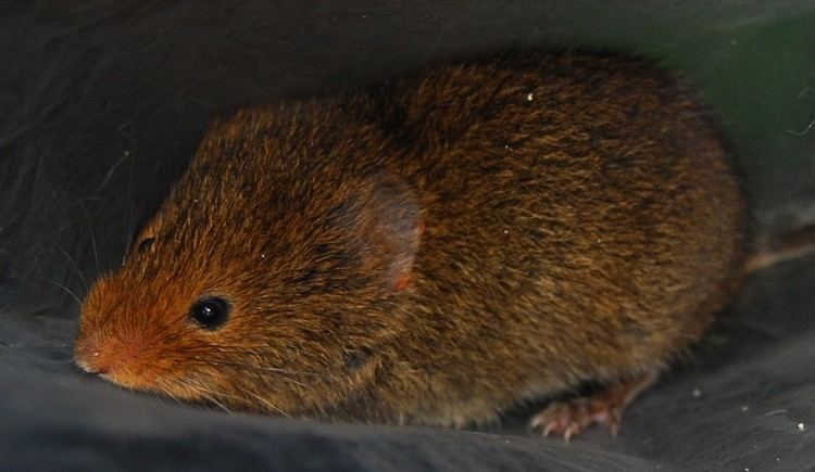Boreal-Forest-Mammals-Cricetidae-Yellow-nosed-Vole