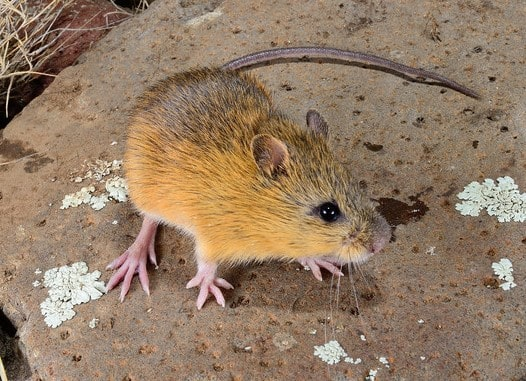 Boreal-Forest-Mammals-Dipodidae-Meadow-Jumping-Mouse