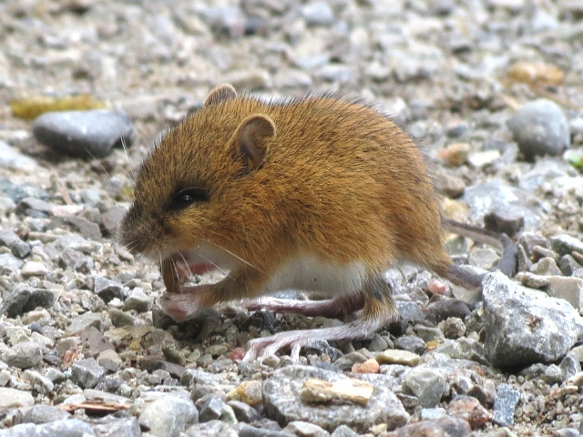 Boreal-Forest-Mammals-Dipodidae-Woodland-Jumping-Mouse
