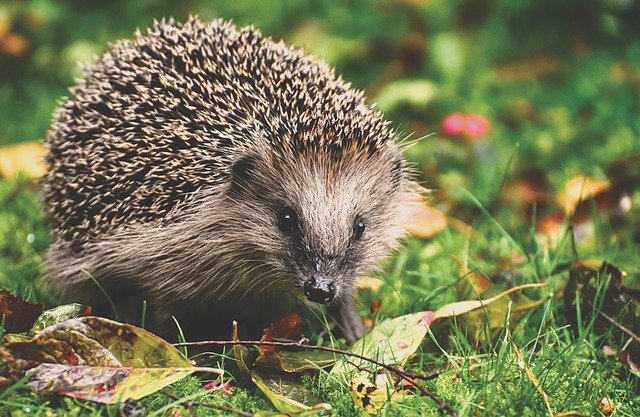 Boreal-Forest-Mammals-Erinaceidae-European-Hedgehog