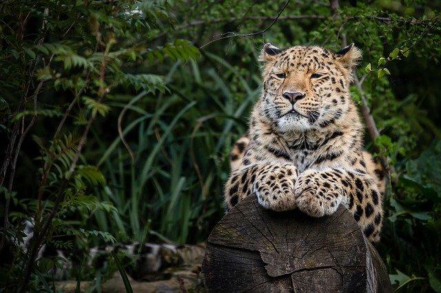 Boreal-Forest-Mammals-Felidae-Amur-Leopard