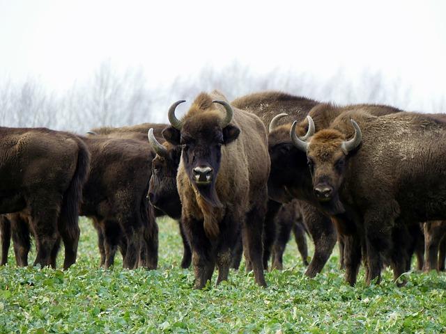 Boreal-Forest-Mammals-Herbivores-Bison