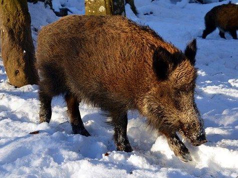 Boreal-Forest-Mammals-Herbivores-Boar