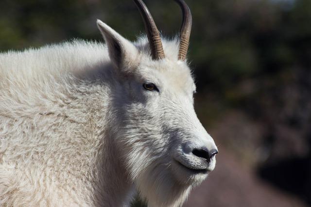 Boreal-Forest-Mammals-Herbivores-Mountain-Goat