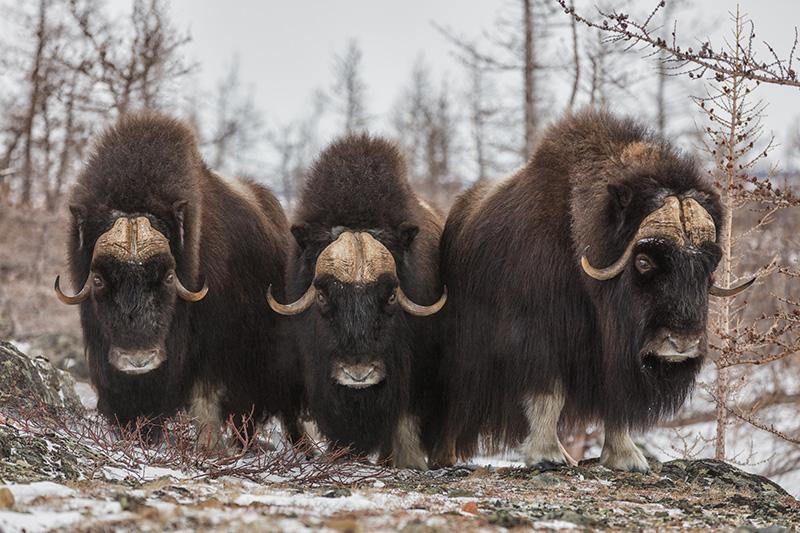 Boreal-Forest-Mammals-Herbivores-Muskox
