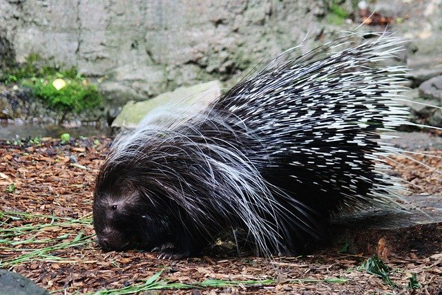 Boreal-Forest-Mammals-Herbivores-Porcupine