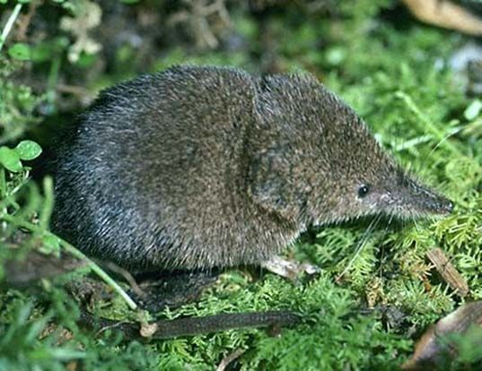 Boreal-Forest-Mammals-Insectivora-Masked-Shrew