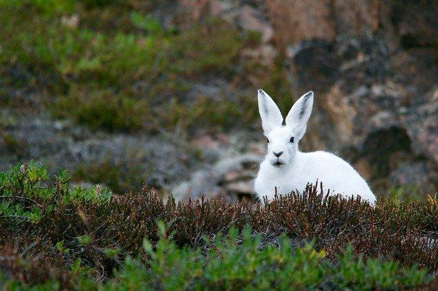 Boreal-Forest-Mammals-Lagomorpha-Arctic-Hare