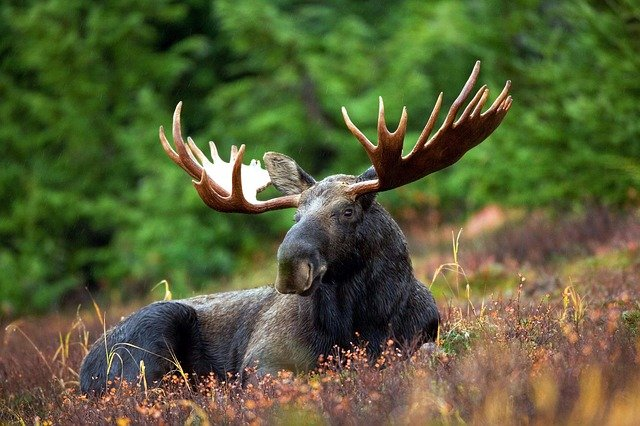 Boreal-Forest-Mammals-Moose