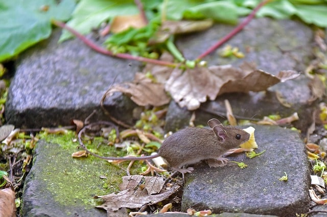 Boreal-Forest-Mammals-Muridae-House-Mouse