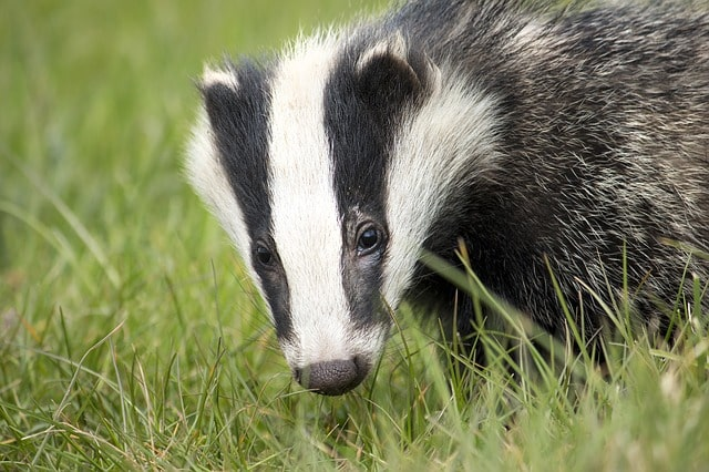 Boreal-Forest-Mammals-Mustelidae-Badger