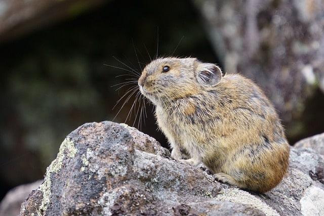 Boreal-Forest-Mammals-Ochotonida-Northern-Pika-