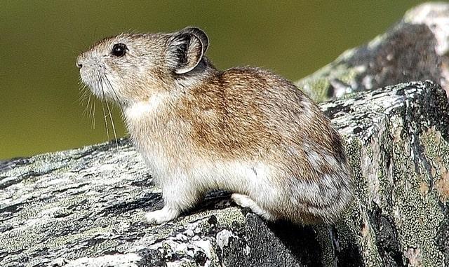 Boreal-Forest-Mammals-Ochotonidae-Collared-Pika