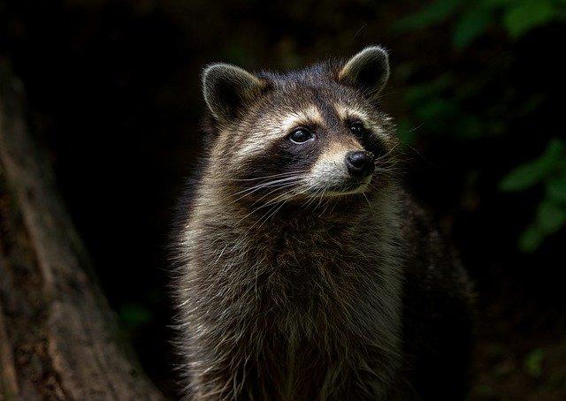 Boreal-Forest-Mammals-Omnivores-Raccoon