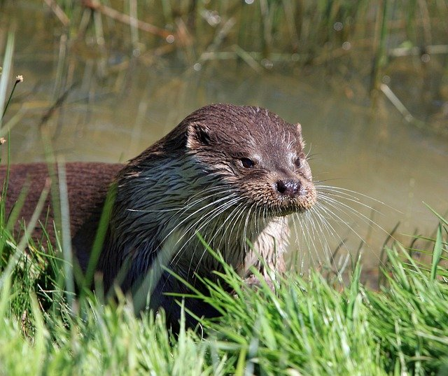 Boreal-Forest-Mammals-Omnivores-River-Otters