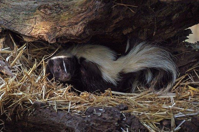 Boreal-Forest-Mammals-Omnivores-Skunk