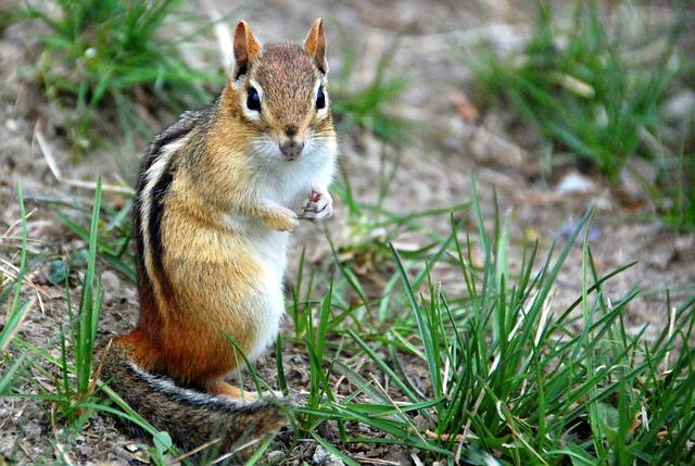 Boreal-Forest-Mammals-Sciuridae-Eastern-Chipmunk